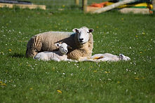 healthy ewe and lambs