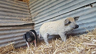 healthy pigs