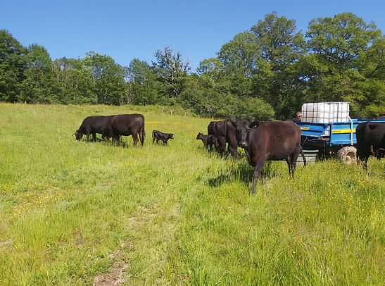 aberdeen angus cattle getting water from a tractor