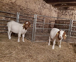 boer goats in the barn
