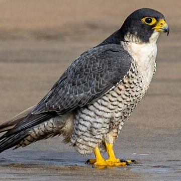 2. Falcon.png