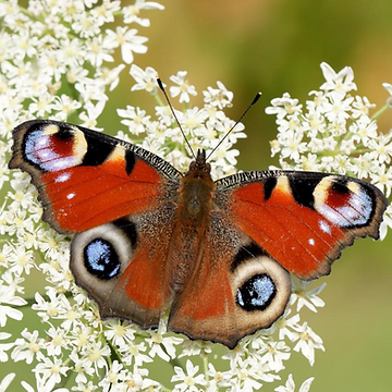 9. Butterfly.png