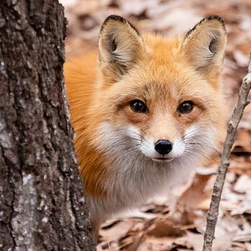10. Fox.png