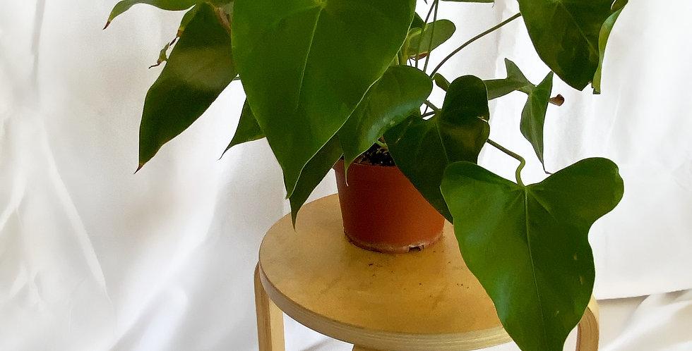 """5"""" Arrowhead Plant"""