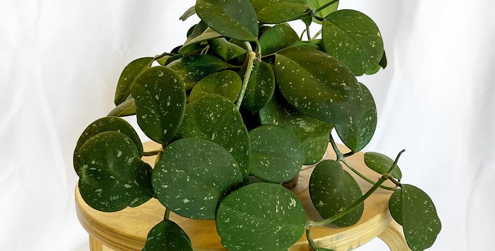 "6"" Wax Plant"