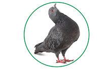 Bird Removal Brampton, Bird Removal Services Brampton.jpg