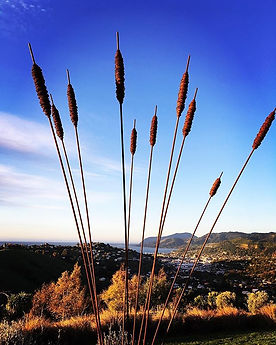 Our big-boy bulrushes basking in the las