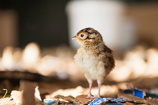 Pheasant Chicks and Poults Game Farm UK