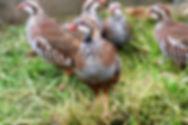 Game Farm Partridge Poults 8.jpg