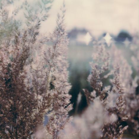 Rose Grass