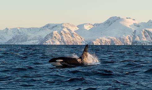 whale safari lofoten