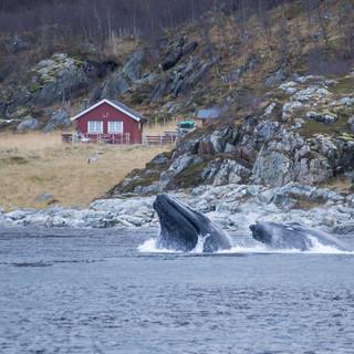 whale safari tromso