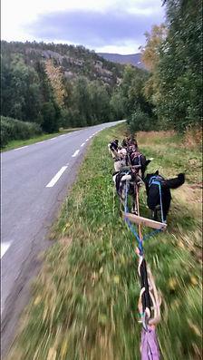 dog driving lofoten