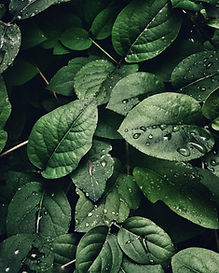 Close up of green leaves with water droplets on them.