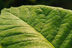 tobacco_green_leaf_closeup_1_72.jpg
