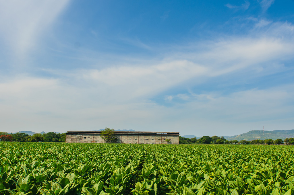 tobacco_field_barn_2_72.jpg