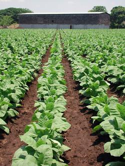sc_tobacco_field_with_barn_72.jpg
