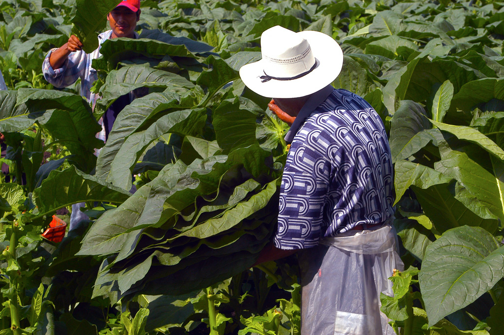 sc_tobacco_field_harvest_72.jpg