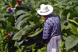 sc_tobacco_field_harvest_72.jpg