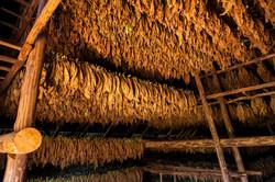 tobacco_barn_curing_ss_72.jpg