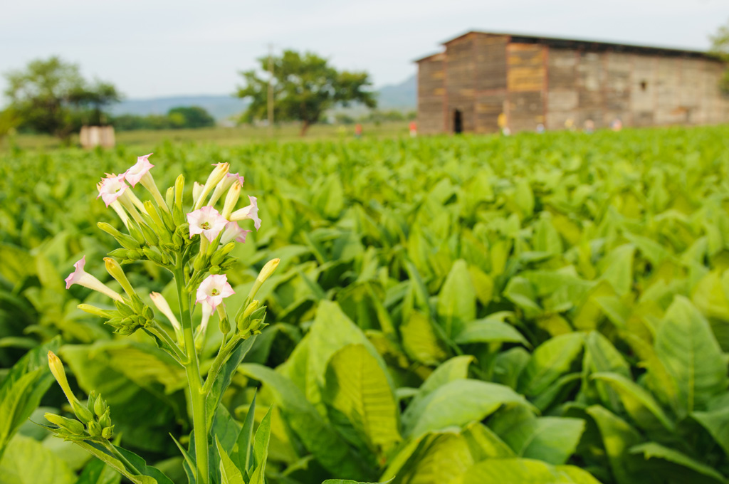 tobacco_field_with_barn_flower_72.jpg