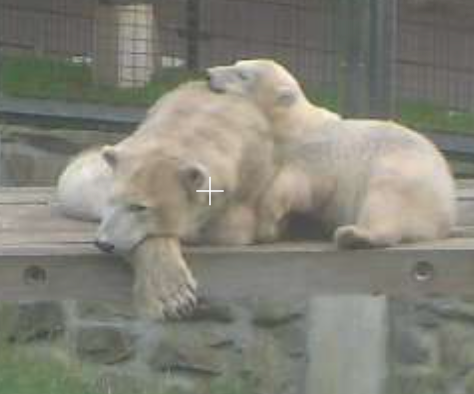 Freedom with her surviving cub, Yuka - June 15, 2020