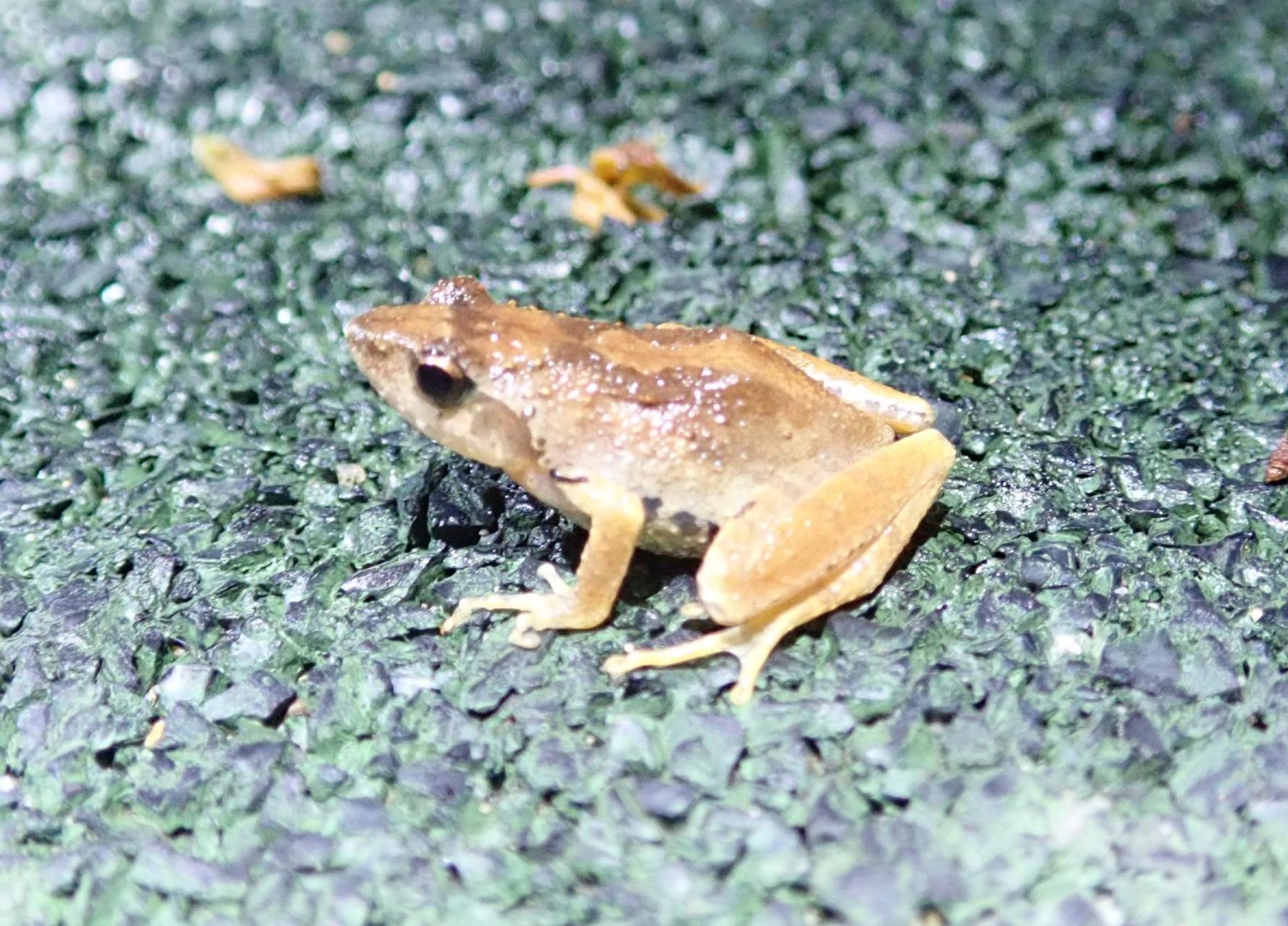 香港独有的小树蛙