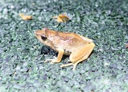 Endemic Frog