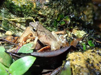 Romer's Tree Frog 1.jpg