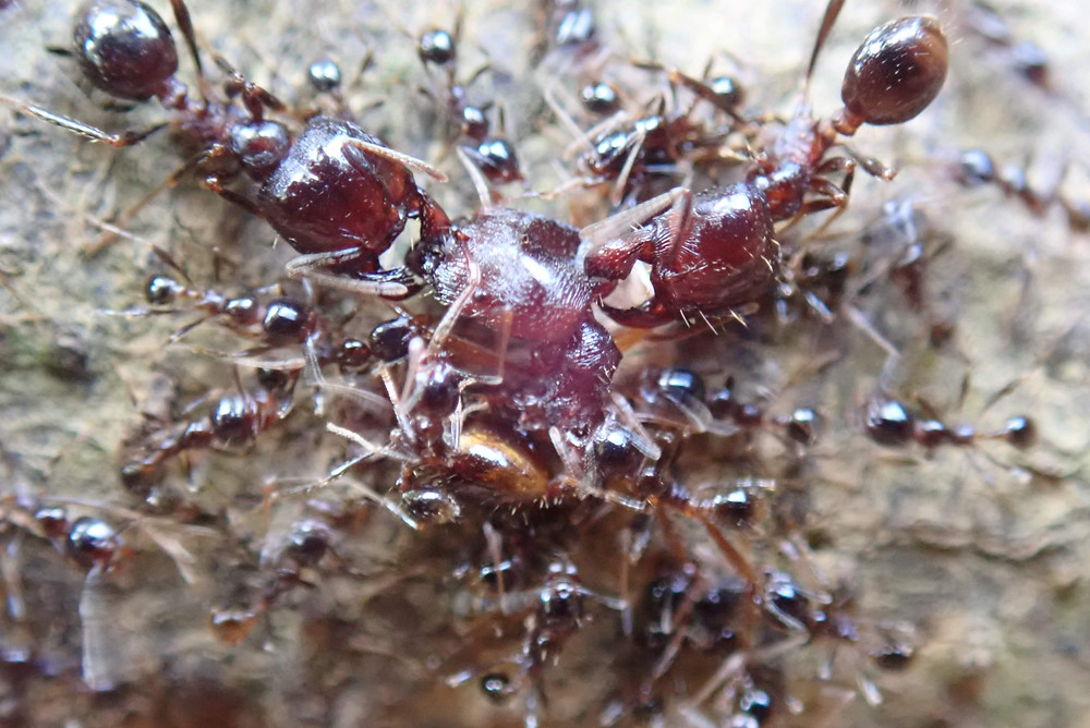 Asian Army Ant, Majors and Workers, Cutting and Transporting Their Prey
