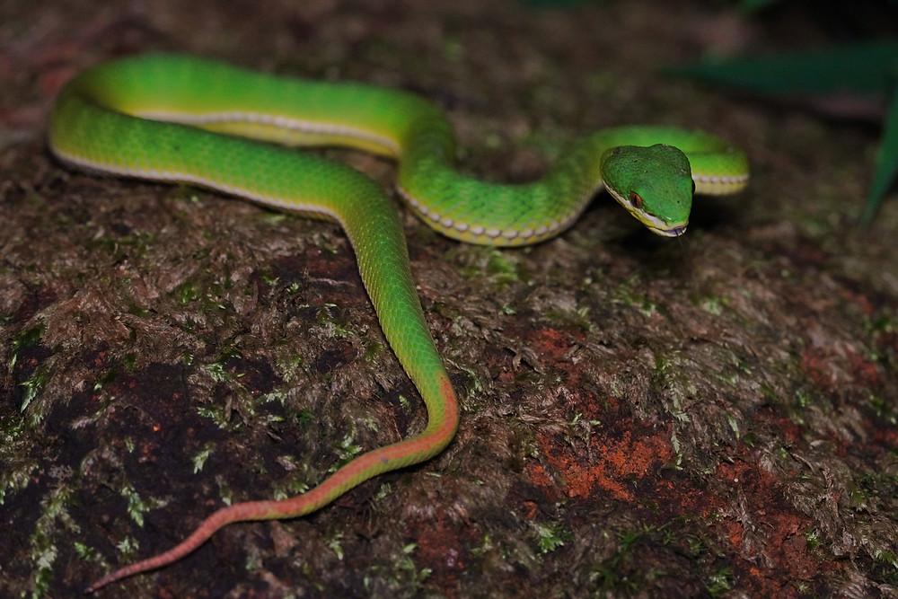 Bamboo Pit Viper (Venomous)