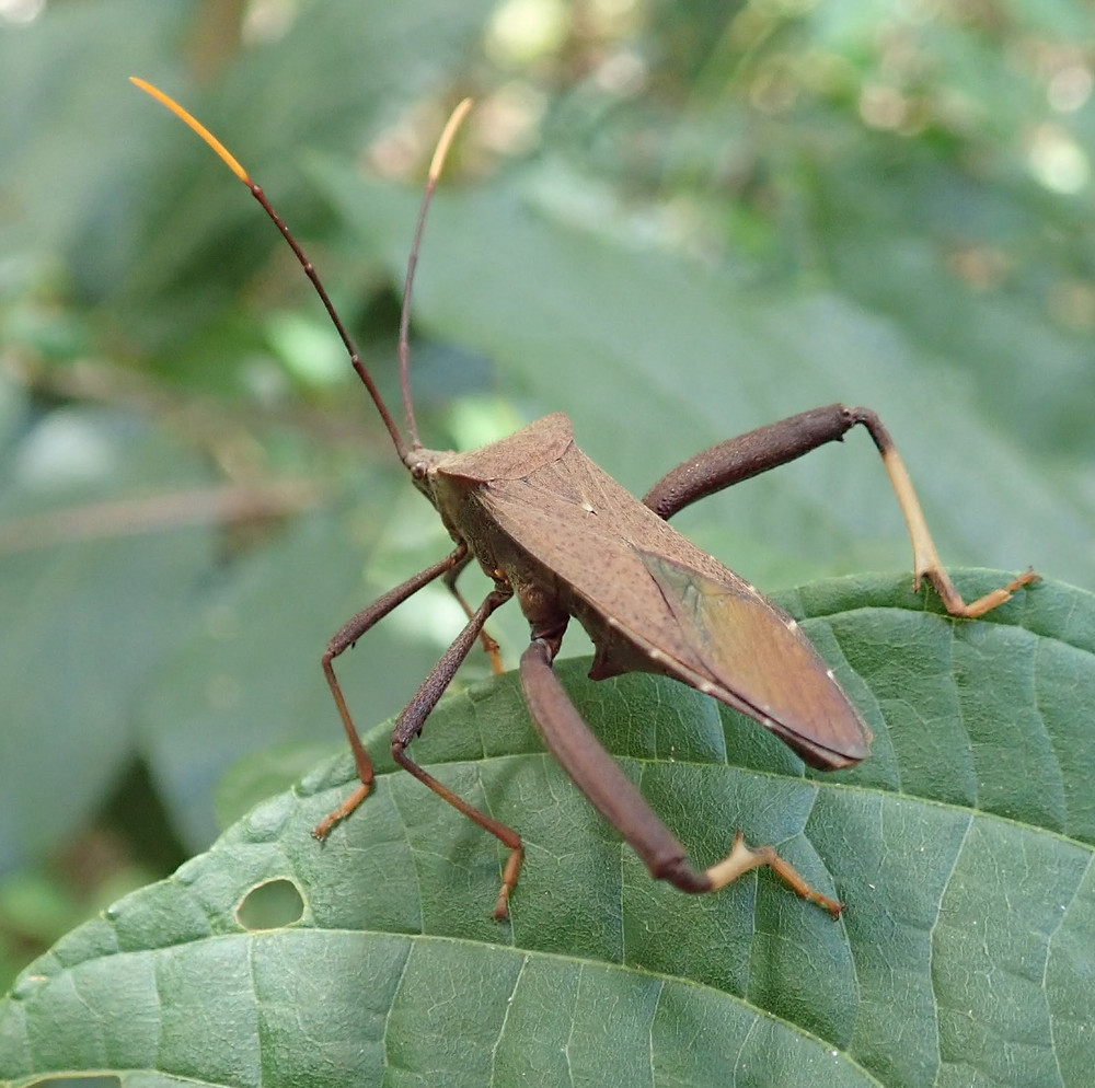 Leaf-legged Bug, Herbivorous