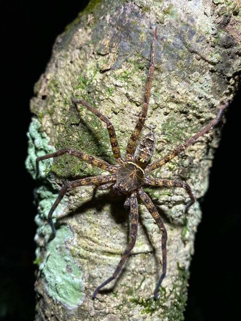 Huntsman Spider Hunting on the Tree