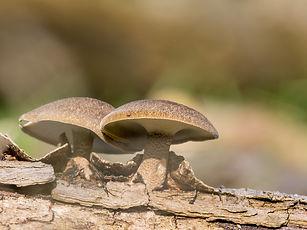 Spring mushroom called Polyporus ciliatu