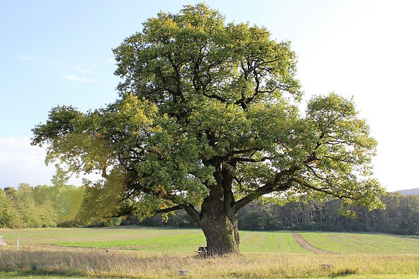 oak-2332869_1280.jpg
