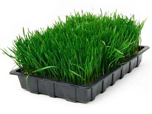 12' x 22' Tray Live Wheat Grass