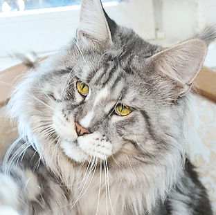 Maine coon male (silver marble with white)