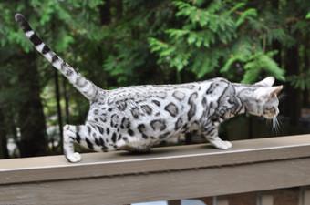 Kitten Silver Female - B