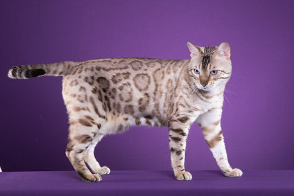 Bengal Cat Breeder