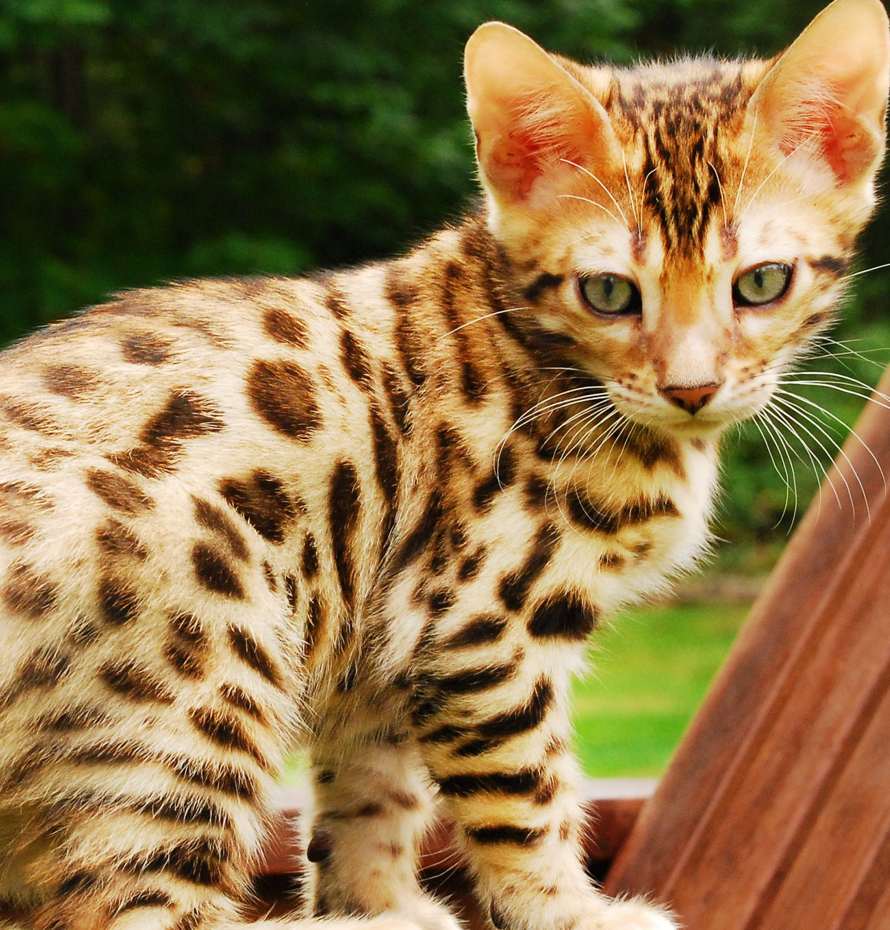 Bengal Cat Breeder