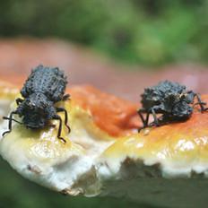 Forked Fungus Beetles on Fungus Bracket