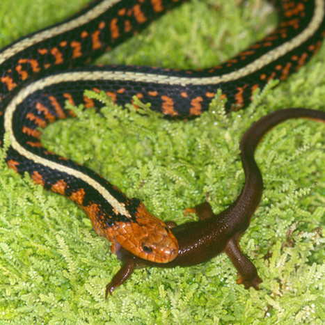 Sirtalis eating newt.jpg