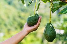 Hand holding harvesting fresh organic av