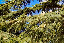 Cedar cones on branches. Crimea, Sevasto