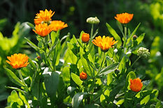 Beautiful herbal calendula field in spri