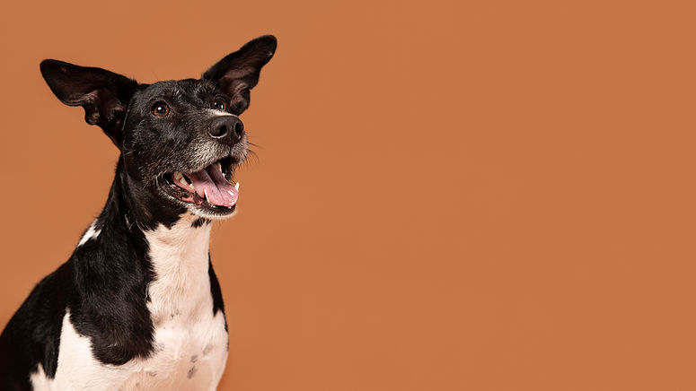 small-dog-being-adorable-portrait-in-a-studio.jpg