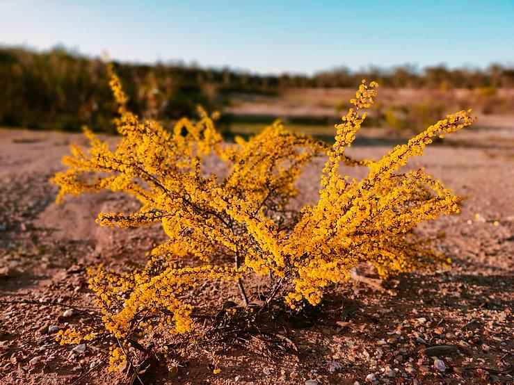 Yellow flowering bush.jpg