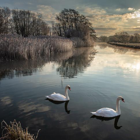Morning swans