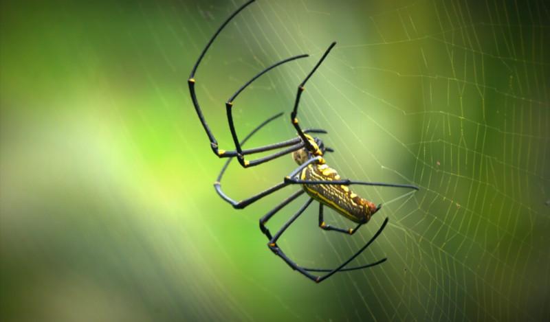 Indo Spider.jpg
