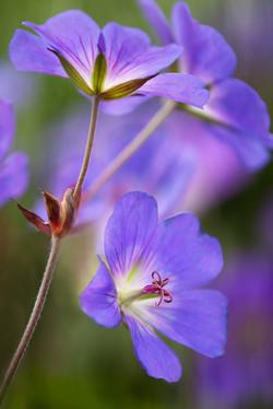 Hardy Blue Geranium